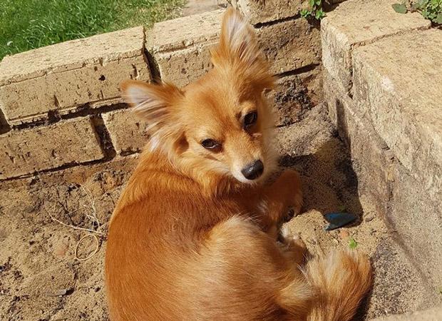 Chihuahua stray