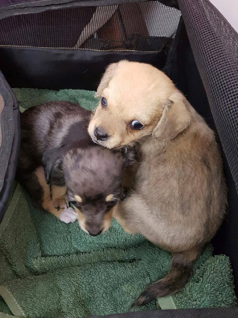 Gallery Of Previously Rehomed Dogs Perth Chihuahua Rescue Inc