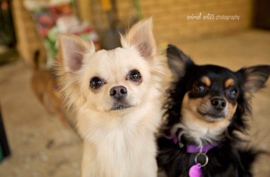 Perth Chihuahua Rescue Inc Adoptions Learn More Or Apply Today